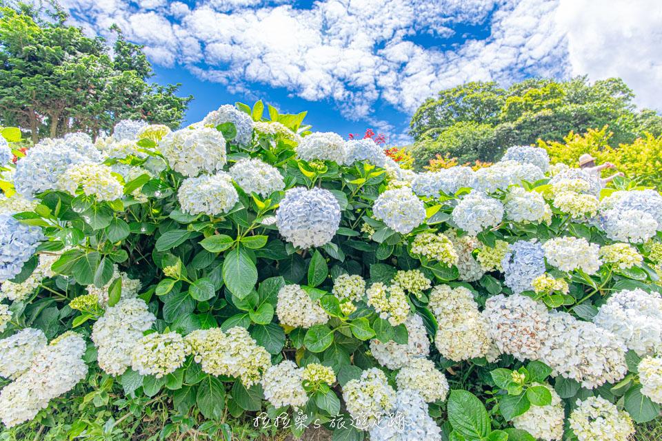 台北陽明山大梯田農園,滿山繽紛繡球花海、迷人夢幻粉紅花廊,每年夏天竹子湖的必賞花景