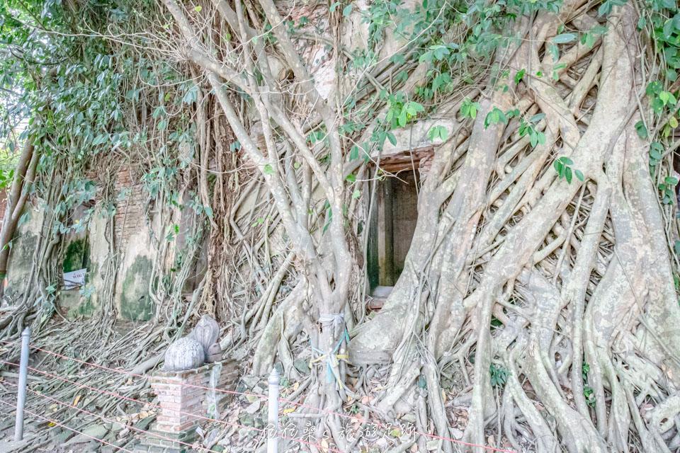 曼谷樹中廟,纏繞於大樹間的小廟,景象相當奇特,從外觀看去,幾乎跟樹融為一體