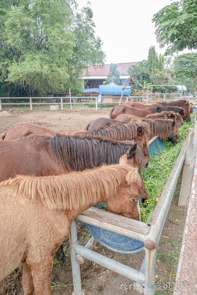 樹中廟園區角落的小型動物園則有不少馬兒