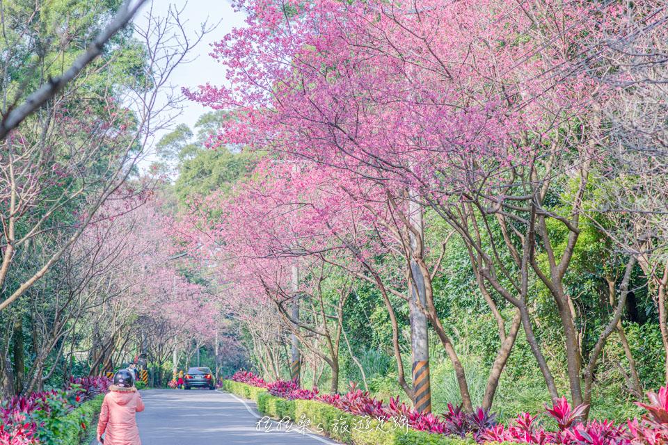 新北淡水滬尾櫻花大道,走入桃紅山櫻花世界,感受片片飄落的浪漫櫻花雨