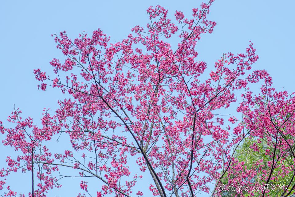 滬尾櫻花大道桃紅的山櫻花,好天氣拍起來更美