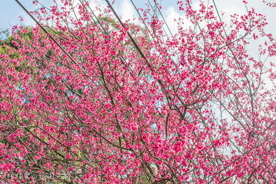 滬尾櫻花大道的山櫻花豔麗中又帶著秀氣的桃紅