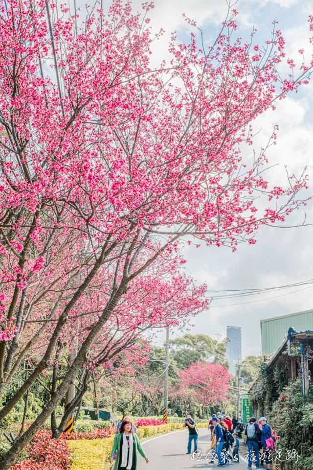 滬尾櫻花大道的櫻花真的好美,每走一段路就有一處茂密的櫻花