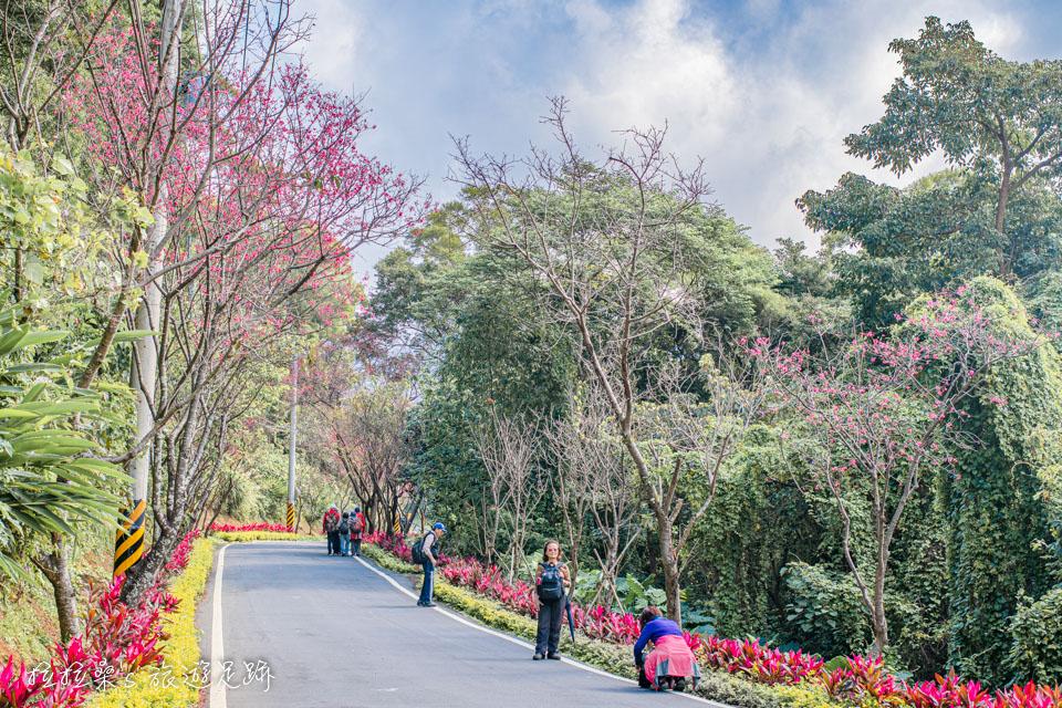 有別於人擠人的熱門賞櫻景點,滬尾櫻花大道人不多,就像包場一樣
