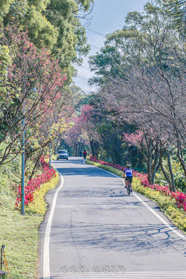 滬尾櫻花大道入口處的櫻花,全部盛開時超美