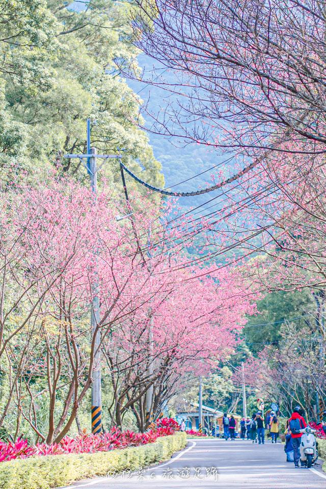 在滬尾櫻花大道用長鏡頭就能拍出宛如櫻花隧道的錯覺