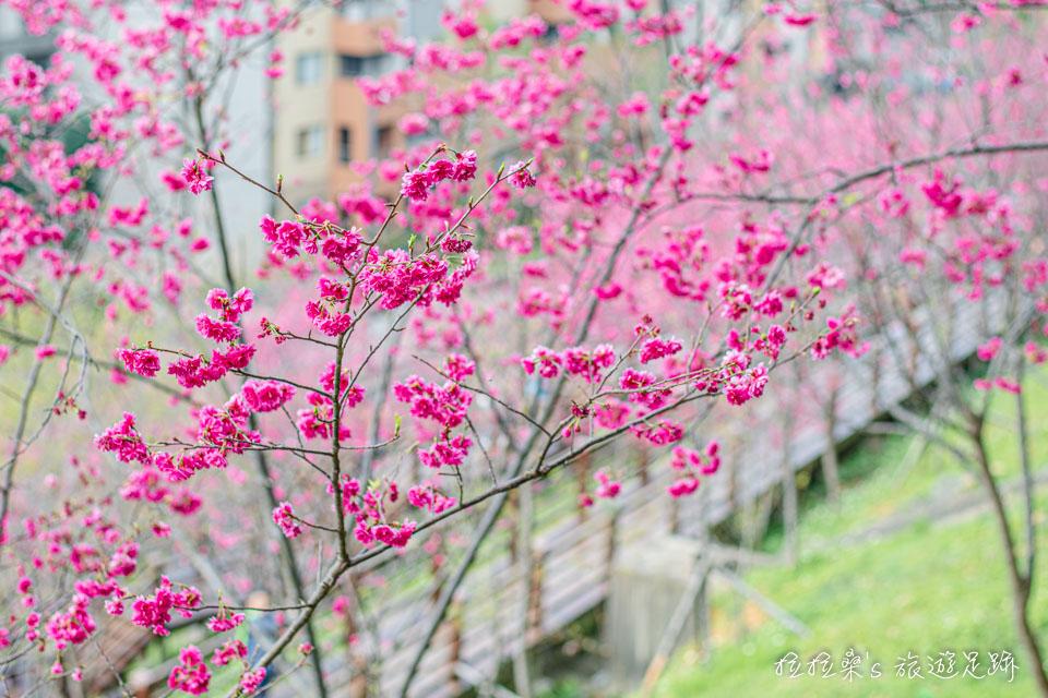 桃園龜山長庚養生村賞櫻,桃紅櫻花、木頭棧道,每個角度都好好拍