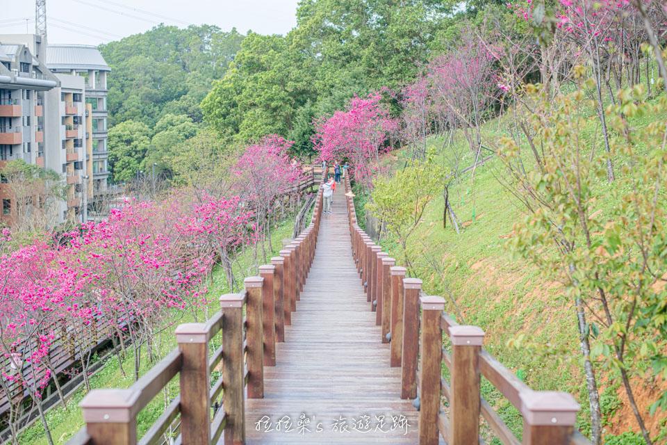 龜山長庚養生村短短幾百公尺的木頭棧道四周盛開著櫻花