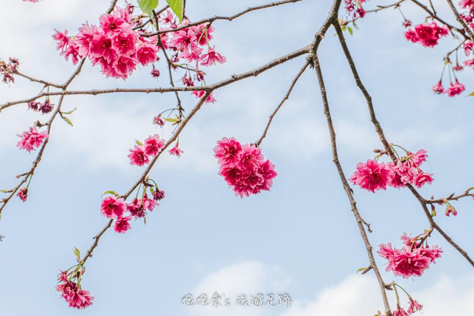 龜山長庚養生村的櫻花通常在2月中左右開花