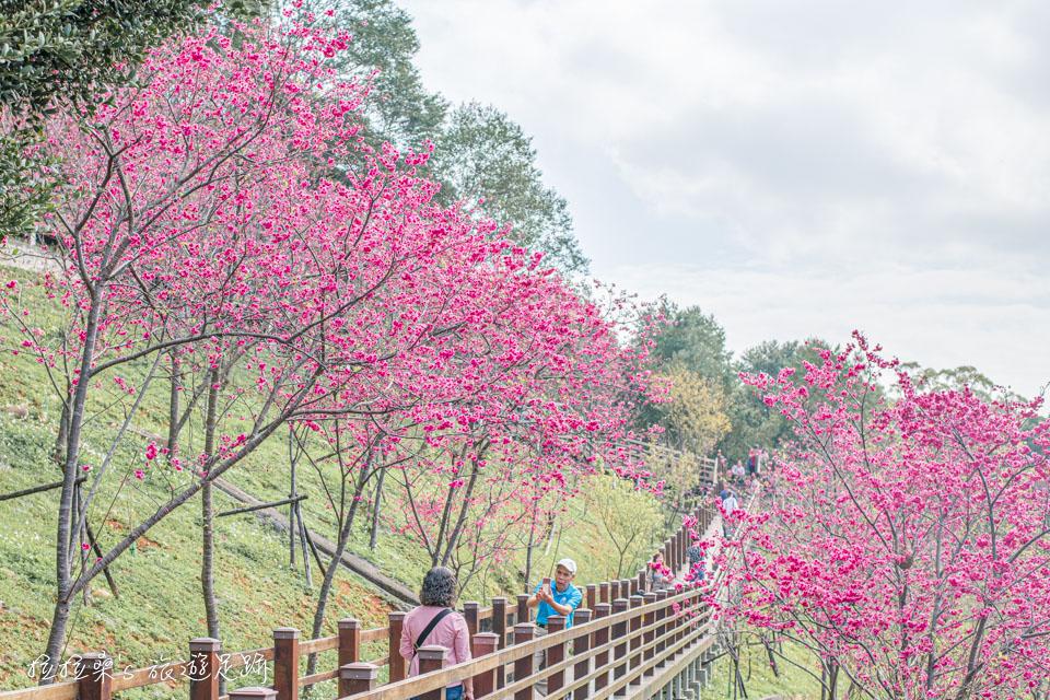 長庚養生村的櫻花樹齡還算年輕,但開花後一樣很美