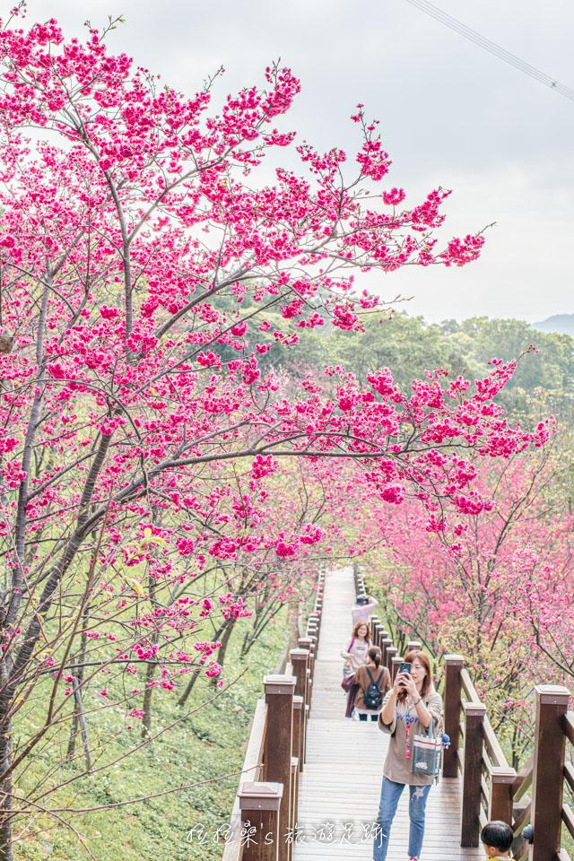龜山長庚養生村某些特定的角度還能拍出櫻花隧道般的感覺