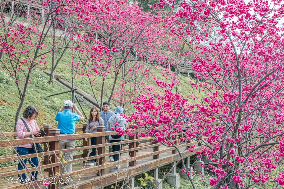 來長庚養生村賞櫻記得把最具特色的木棧道一起拍進畫面