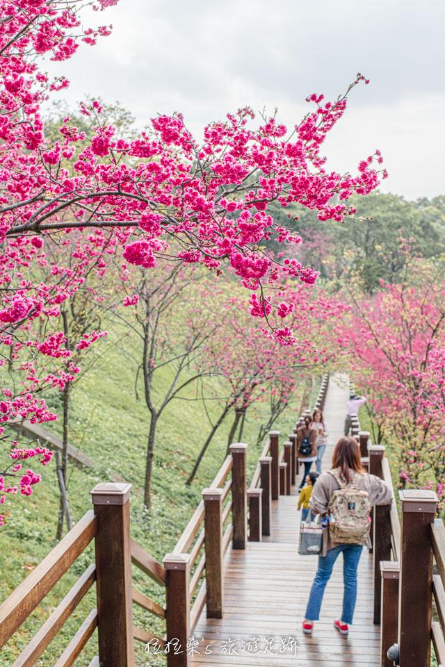 長庚養生村種在山坡上的櫻花林