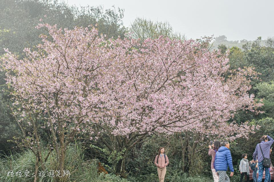 而靠近菁山路101巷停車場這側的櫻花開的特別茂密