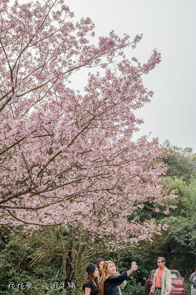而靠近菁山路101巷停車場這側的櫻花高度恰到好處