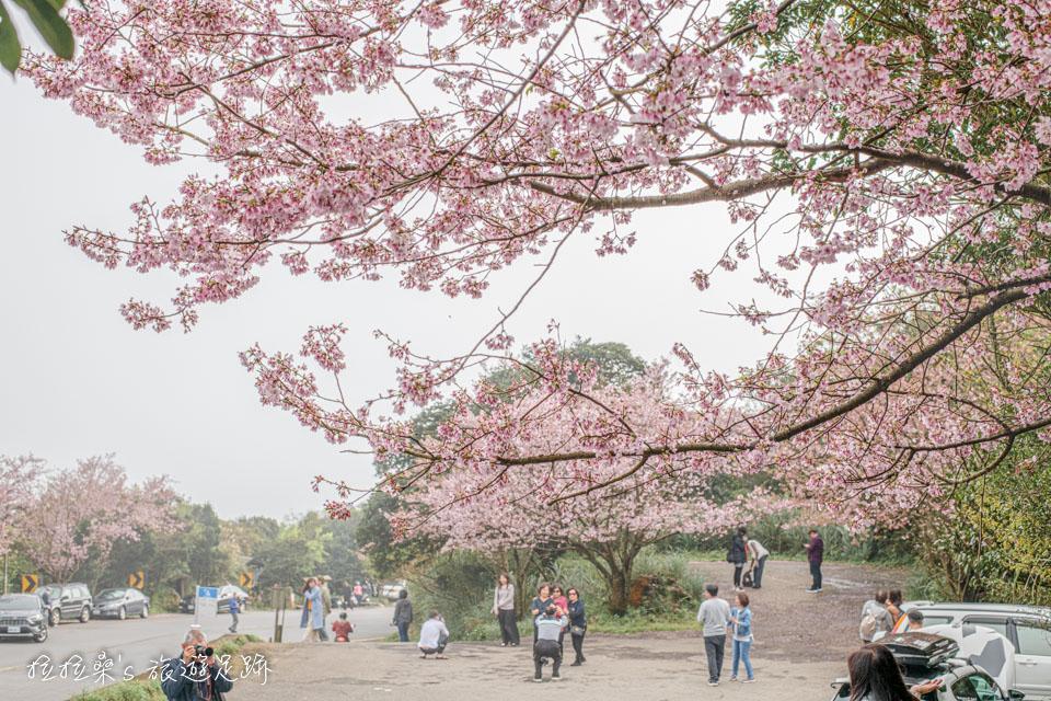 菁山路101巷的櫻花,有幾個角度拍出來的效果意外的不錯
