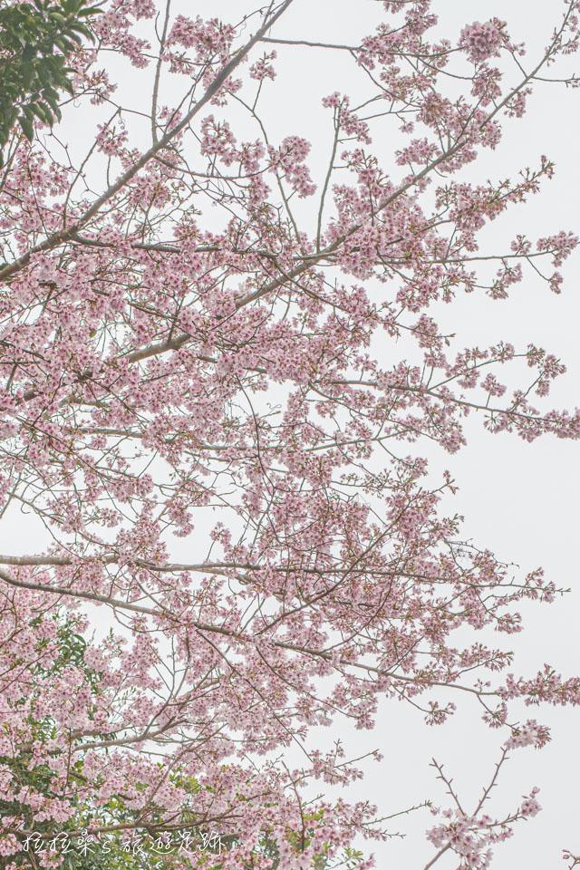 菁山路101巷的櫻花跟平菁街42巷的櫻花品種很像