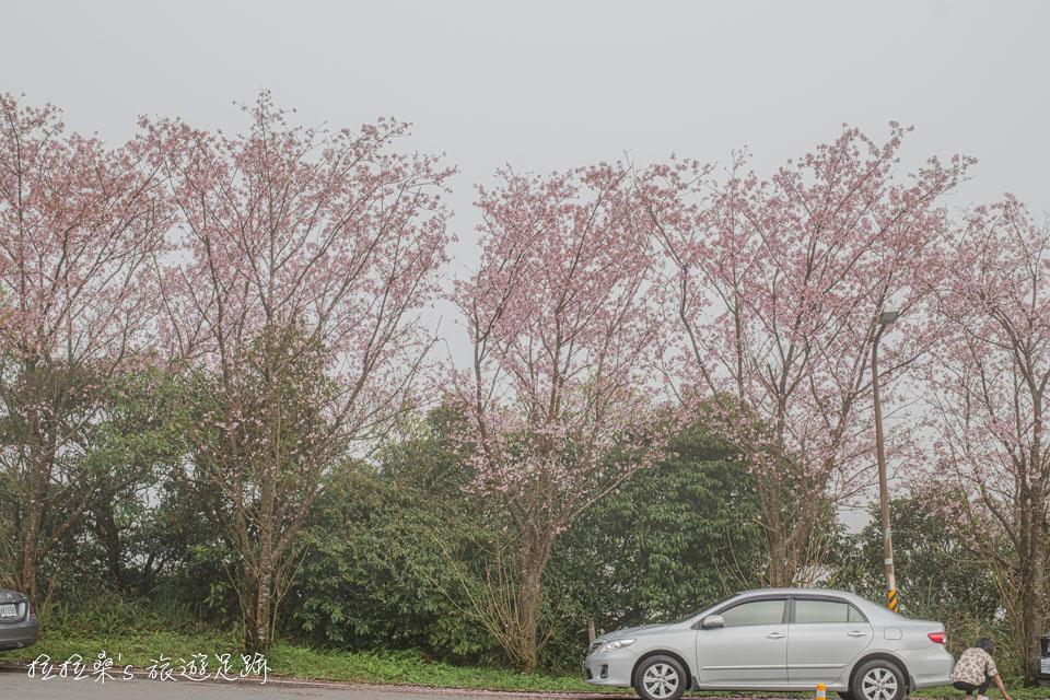 菁山路101巷上山方向這側的櫻花由於靠近馬路邊,拍照時要注意有沒有來車