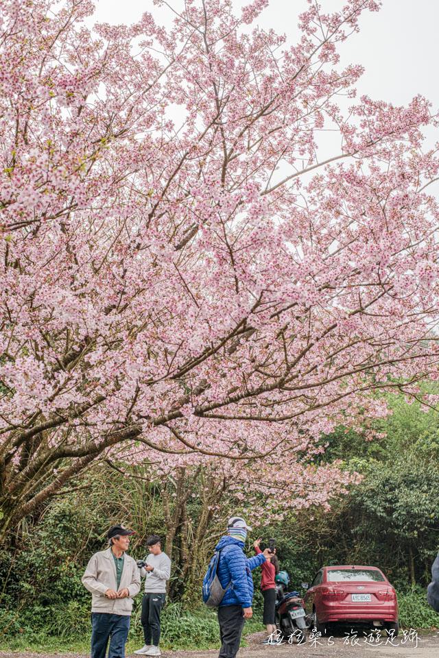 目前菁山路101巷的櫻花已經滿開