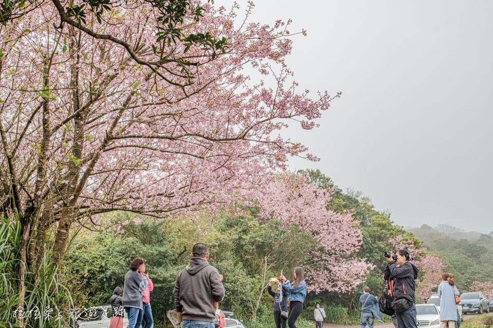台北陽明山菁山路101巷賞櫻花,巧遇令人驚喜的粉嫩吉野櫻