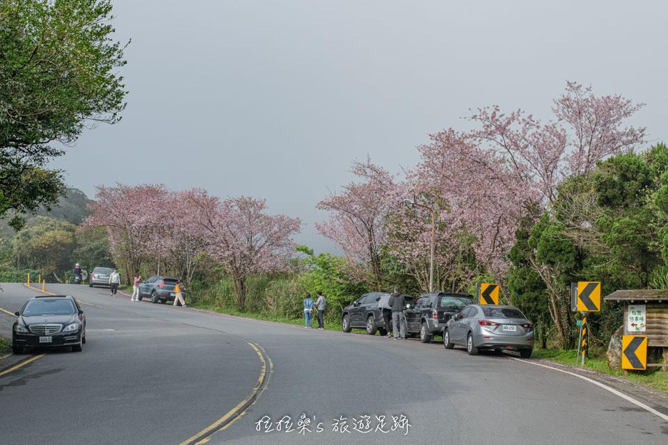 菁山路101巷的櫻花櫻花的數量不多,但花況卻意外的好