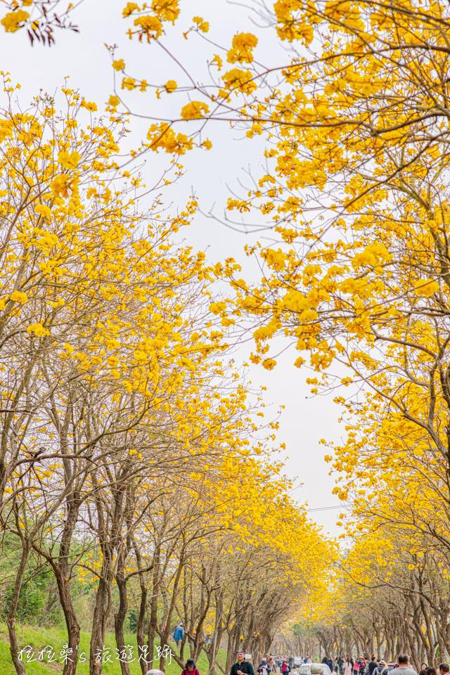 嘉義朴子溪爆開的黃金風鈴木一路往前延伸,超美