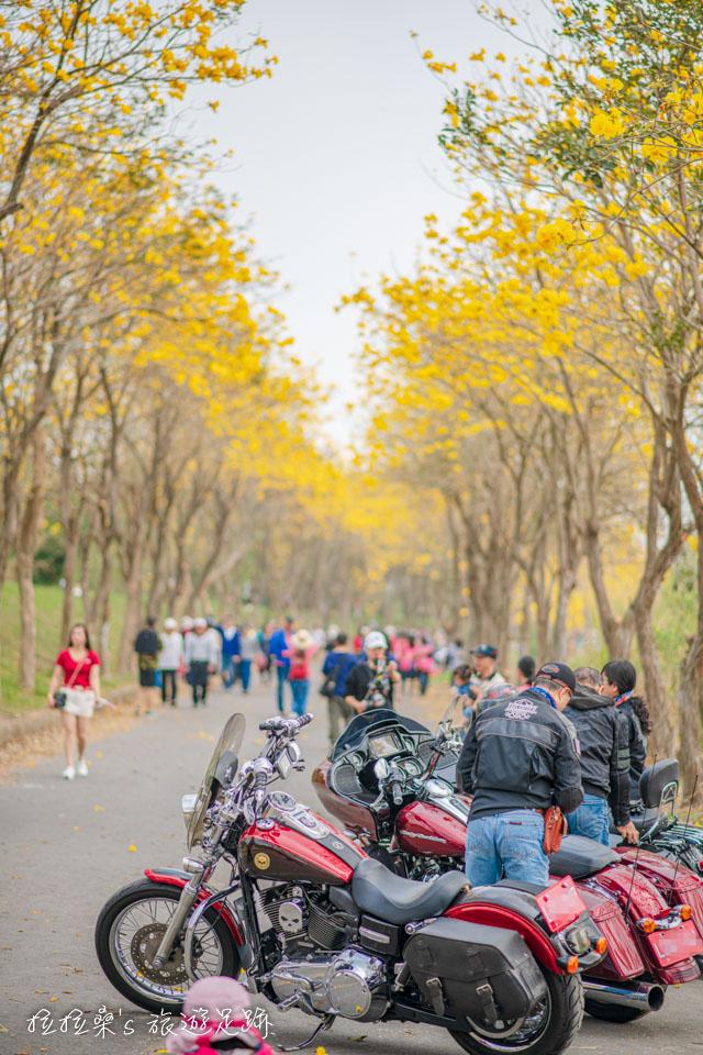 朴子溪的黃金風鈴木是拍照最棒的背景