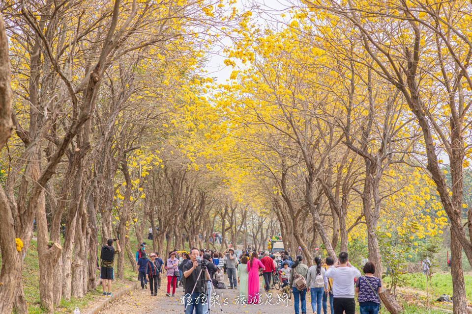 朴子溪防汛道路一路綿延將近快2公里的黃金風鈴木美景