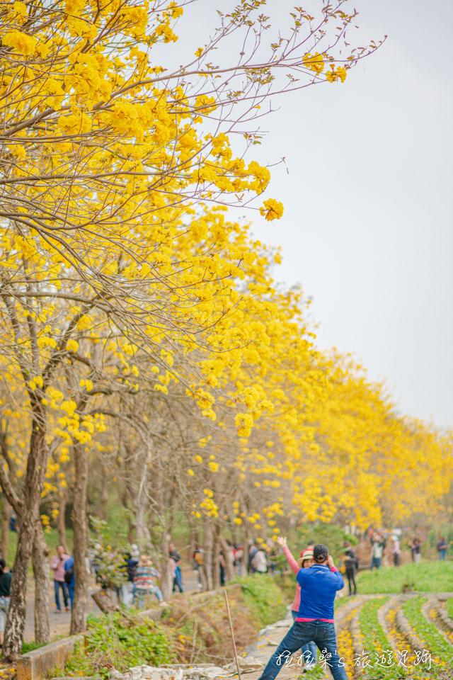 以不同角度拍嘉義朴子溪的風鈴木,都有不同的味道