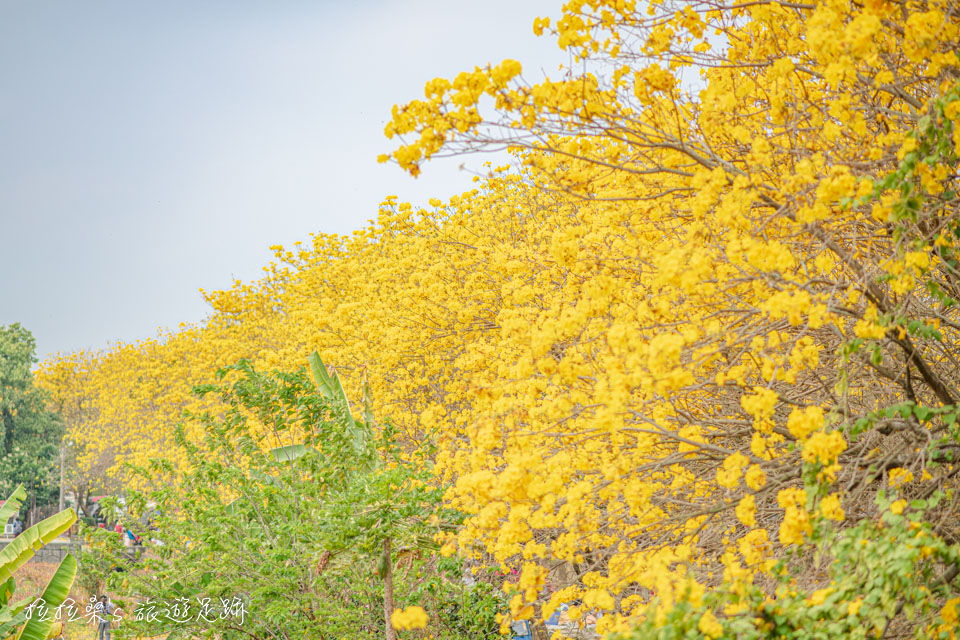 朴子溪朴子溪防汛道路盛開的黃金風鈴木
