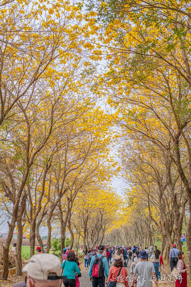 朴子溪黃金風鈴木必拍的黃金隧道