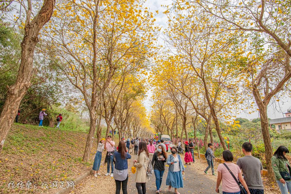 今年嘉義朴子溪黃金風鈴木的花況比往年好上不少