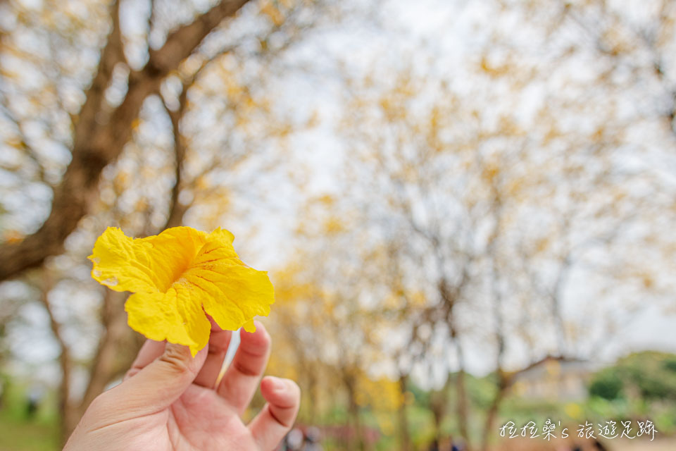 在初春時開花的朴子溪黃金風鈴木特寫