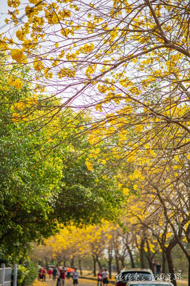 行嘉吊橋旁的黃金風鈴木小徑