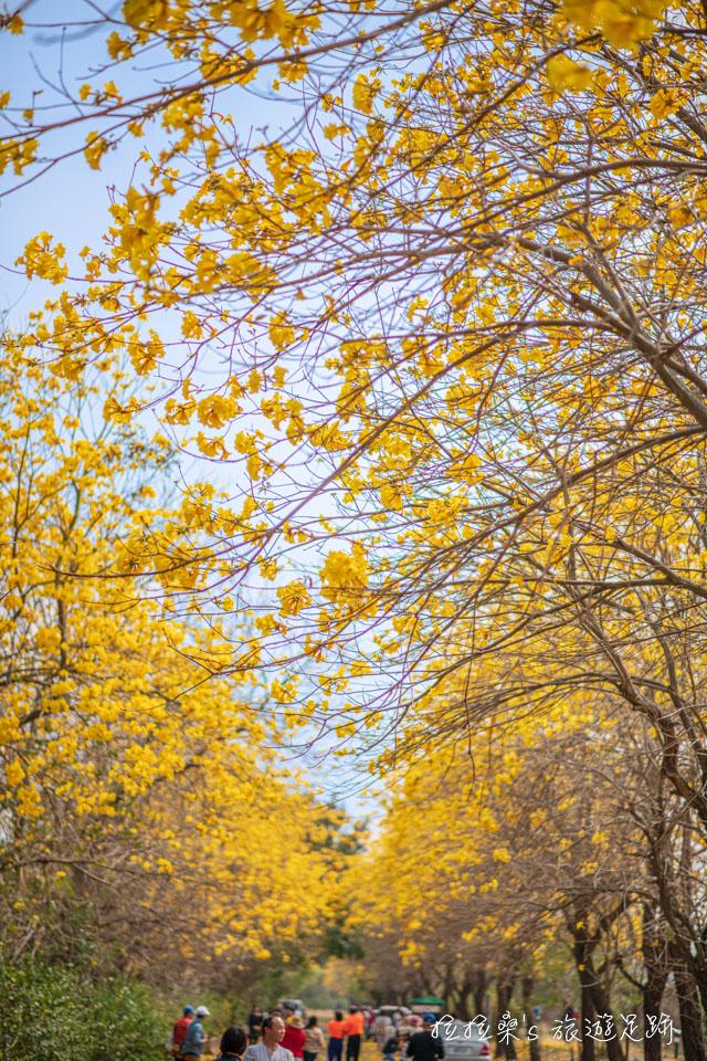 行嘉吊橋旁的黃金風鈴木小徑,只要抓好角度,就能拍出漫天黃花的畫面