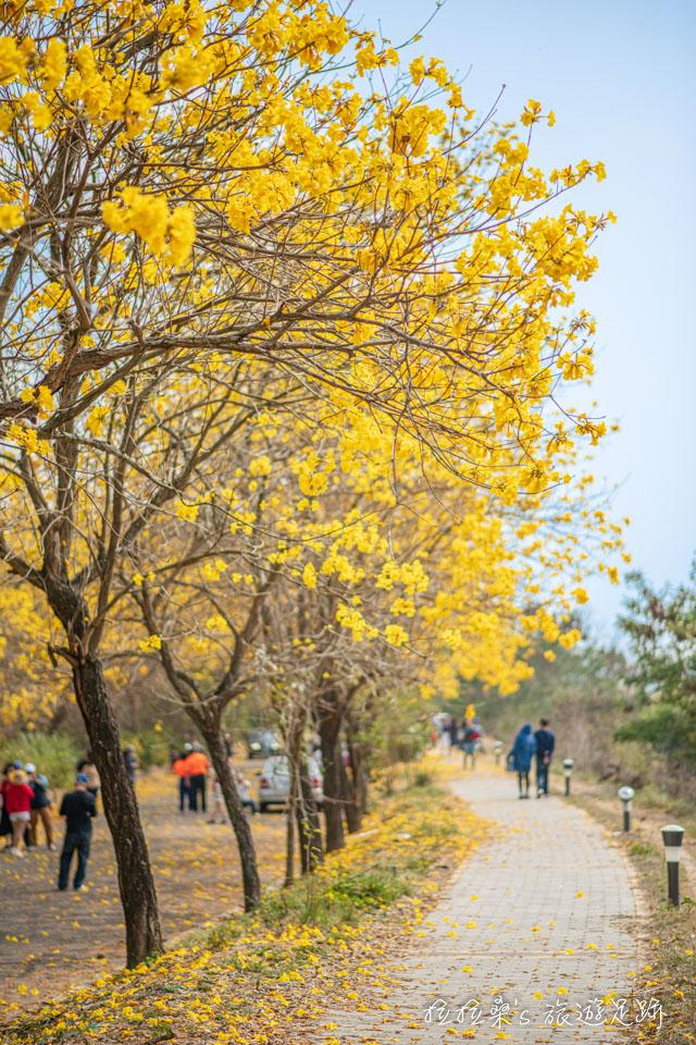 行嘉吊橋旁的黃金風鈴木小徑,有許多角度適合拍照