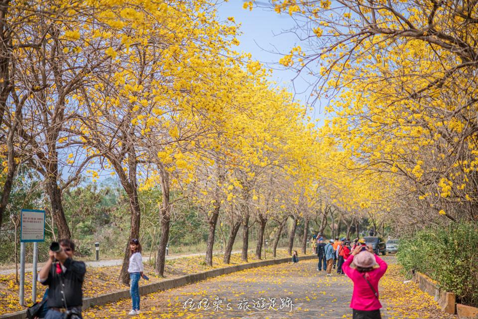 行嘉吊橋旁的黃金風鈴木小徑有著一種獨特的風味
