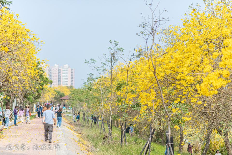 嘉義軍輝橋河提邊的黃金風鈴木花況