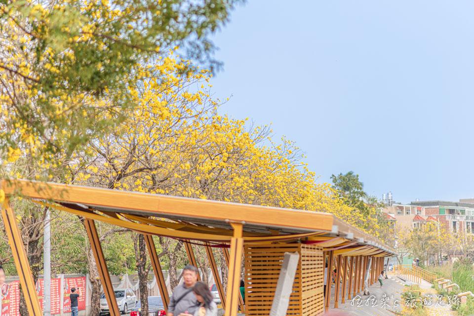 嘉義軍輝橋河提邊的黃金風鈴木吸引許多人來賞花