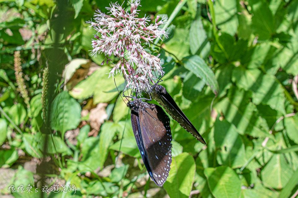 大屯山主峰登山步道時常能看到蝴蝶的蹤跡