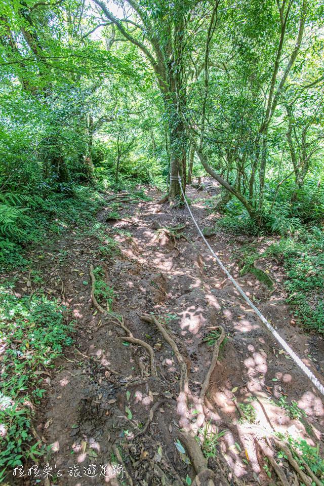 大屯西峰下面天坪的這段路在雨後會很濕滑